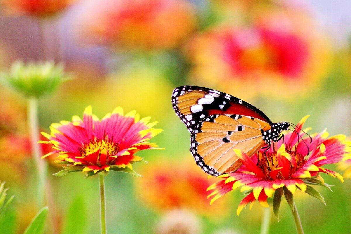 So fliegt der Schmetterling!
